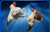 ayam laga